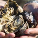 Fresh Natural oysters from the farm