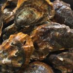 golden-pacific-oysters